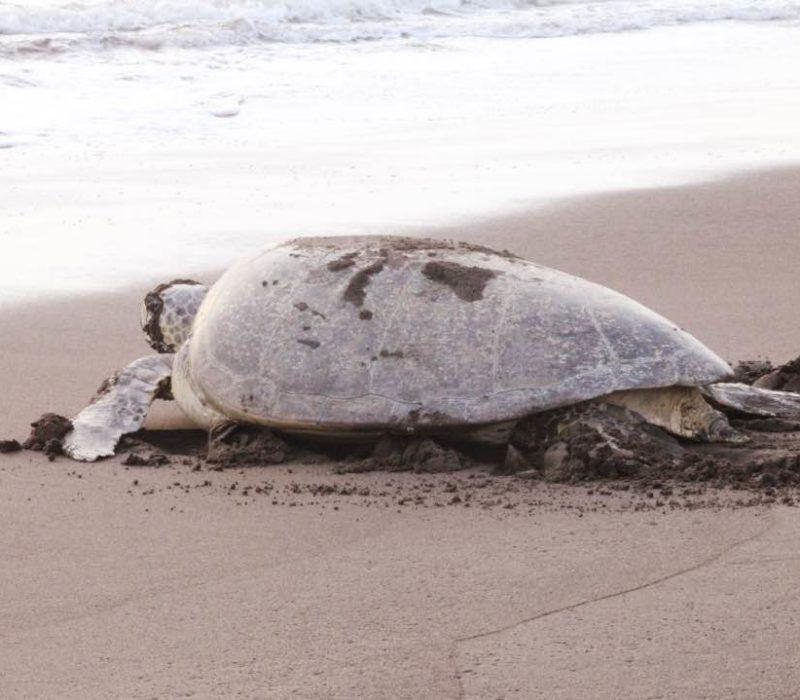 Groene Zeeschildpad In Tortuguero Costa Rica