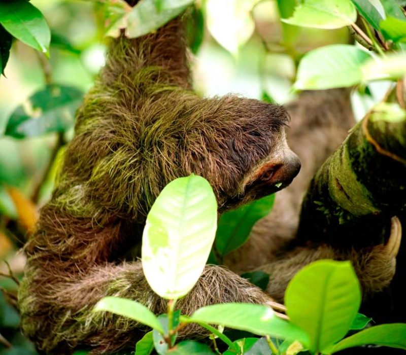 Luiaard In Tortuguero Costa Rica