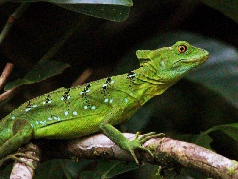 Groene Salamander In Tortuguero In Costa Rica
