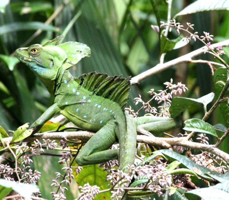 Groene Salamander Costa Rica