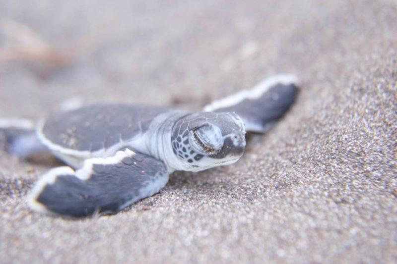 Mini Schildpad In Tortuguero Costa Rica