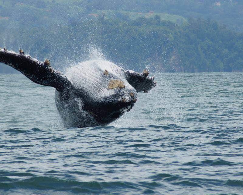 Humpback Whales In Uvita In Costa Rica