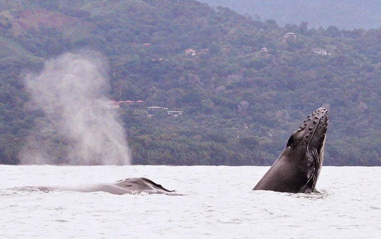 Walvissen Spotten Uvita Costa Rica